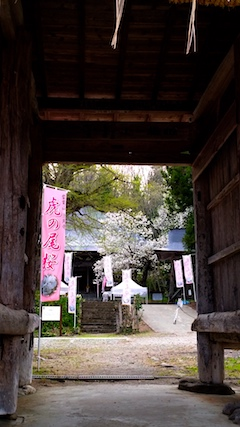 20170429会津美里町虎の尾桜1