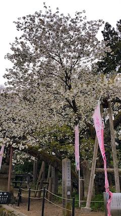 20170429会津美里町虎の尾桜2