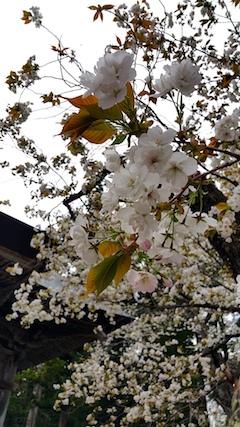 20170429会津美里町虎の尾桜3