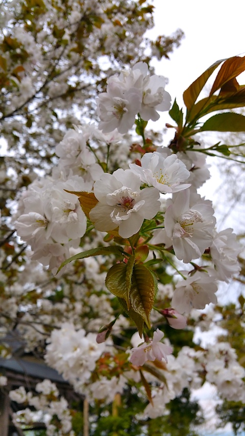 20170429会津美里町虎の尾桜5