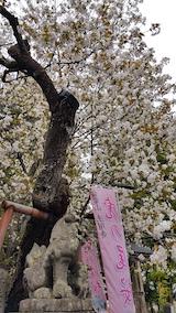 20170429会津美里町虎の尾桜9