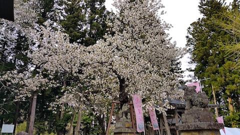 20170429会津美里町虎の尾桜7