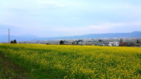 20170429会津美里町八木沢菜の花畑3