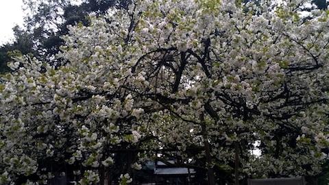20170429会津美里町伊佐須美神社薄墨桜3