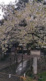20170429会津美里町伊佐須美神社薄墨桜8