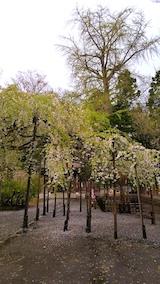 20170429会津美里町伊佐須美神社境内の桜