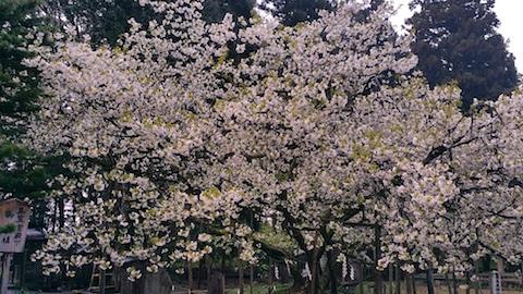 20170429会津美里町伊佐須美神社薄墨桜6