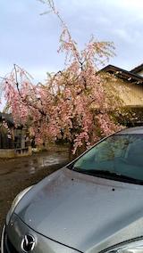 20170429実家の八重紅枝垂れ桜