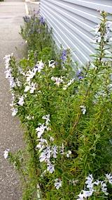 20170513外の様子ローズマリーの花2