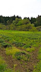 20170513ラベンダーの畑