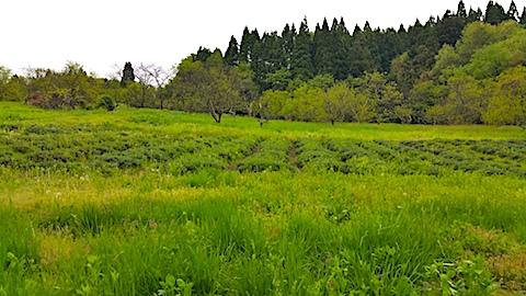 20170513ラベンダー畑の様子2