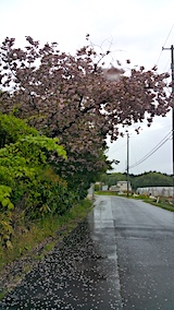 20170513山からの帰り道の様子八重桜が散り始める1