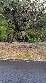 20170513山からの帰り道の様子八重桜が散り始める2