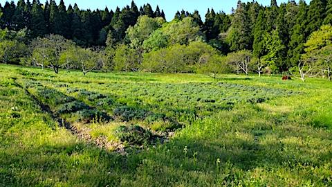20170514ラベンダー畑の周り草刈り前の様子3