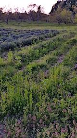 20170514ラベンダー畑の周り草刈り前の様子5