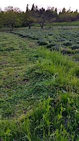 20170514ラベンダー畑の周り草刈り前の様子4