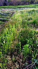 20170514ラベンダー畑の周り草刈り前の様子6
