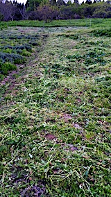 20170514ラベンダー畑の周り草刈り後の様子6