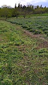20170514ラベンダー畑の周り草刈り後の様子4
