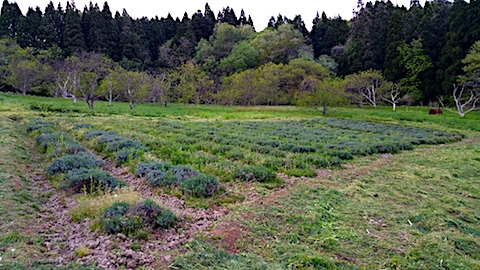 20170514ラベンダー畑の周り草刈り後の様子3