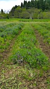 20170515ラベンダー畑の草刈り前の様子1