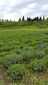 20170515ラベンダー畑の草刈り前の様子4