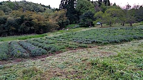 20170515ラベンダー畑草刈り後の様子3