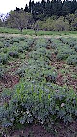 20170515ラベンダー畑の草刈り後の様子2