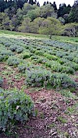 20170515ラベンダー畑の草刈り後の様子3