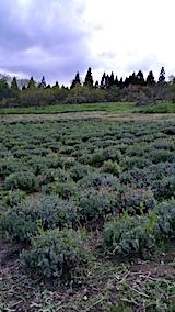 20170515ラベンダー畑の草刈り後の様子4