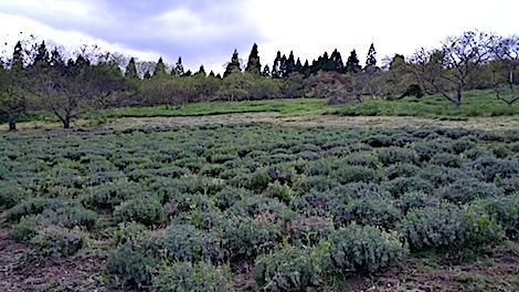 20170515ラベンダー畑草刈り後の様子2