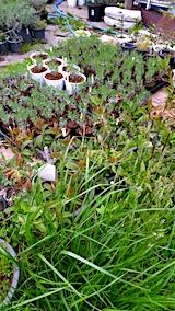 20170516植え替えした鉢やポットの苗1