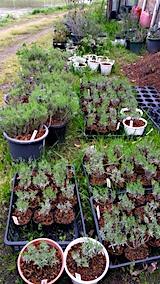 20170516植え替えした鉢やポットの苗2