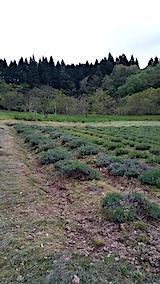 20170516ラベンダー畑の様子草取り後3