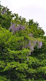 20170526山へ向かう途中の様子上北手下小山田地区の藤の花1