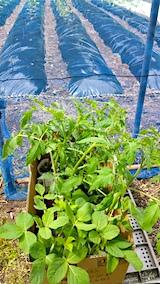 20170526先日購入した野菜苗の定食準備