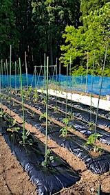 20170526定植を済ませた野菜畑の様子1