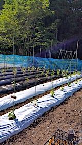 20170526定植を済ませた野菜畑の様子2