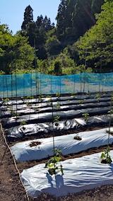 20170526定植を済ませた野菜畑の様子3