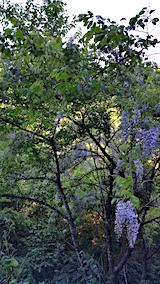 20170526山からの帰り道の様子峠道の藤の花