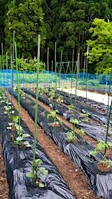 20170527野菜畑の様子1