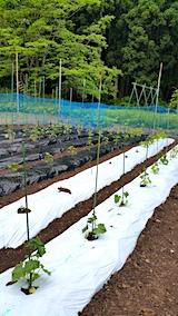 20170527野菜畑の様子2