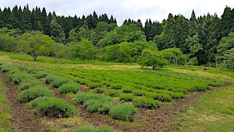 20170527ラベンダー畑の様子