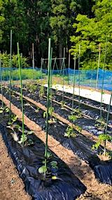 20170529野菜畑