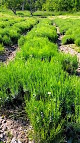 20170529ラベンダー畑の草取り前1