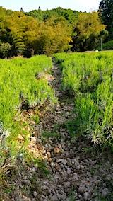 20170529ラベンダー畑の草取り途中の様子