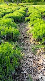 20170529ラベンダー畑の草取り後2