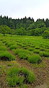 20170604ラベンダーの畑2