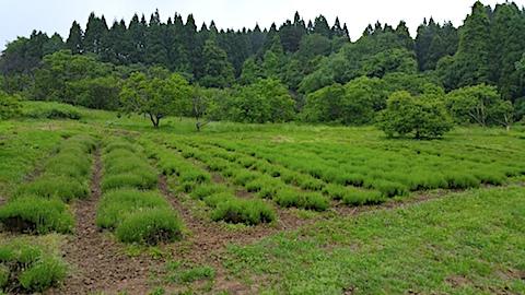 20170604ラベンダー畑の様子1