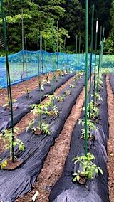 20170604野菜の畑